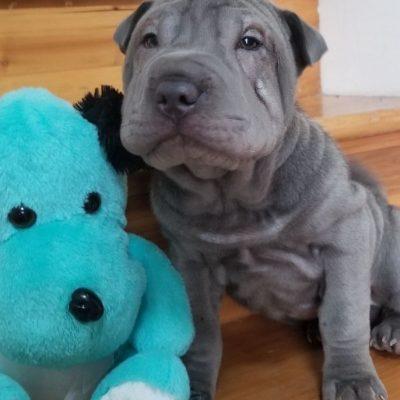 Mini blue male 9 weeks