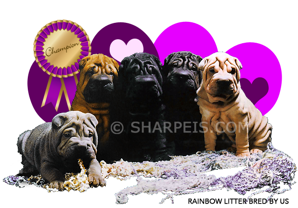 Chinese Shar Pei Puppies For Sale Breeder Of Chinese Shar Pei