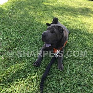puppy-sold-6months-couple-la